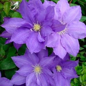 Клематис крупноцветковый Х.Ф.Янг