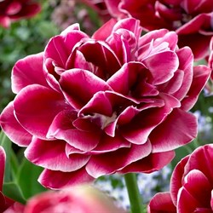 Тюльпан Дрим Тач (5)