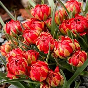 Тюльпан Саманта (10) - фото 95043