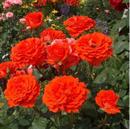 Роза Мерседес - фото 48974