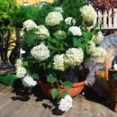 Гортензия древовидная Инкрэдибл с35/80-100 - фото 50314