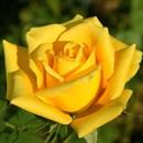 Роза Мохана - фото 52874