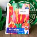 Тюльпан Апельдорнс Элит (10) - фото 61081