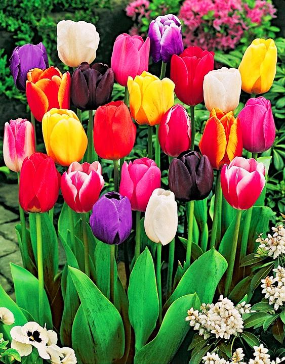 Где купить тюльпаны посадки цветы на президиум москва купить