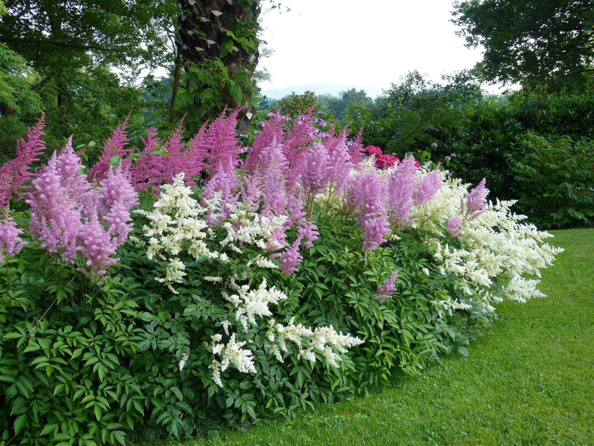 Многолетние цветы 349