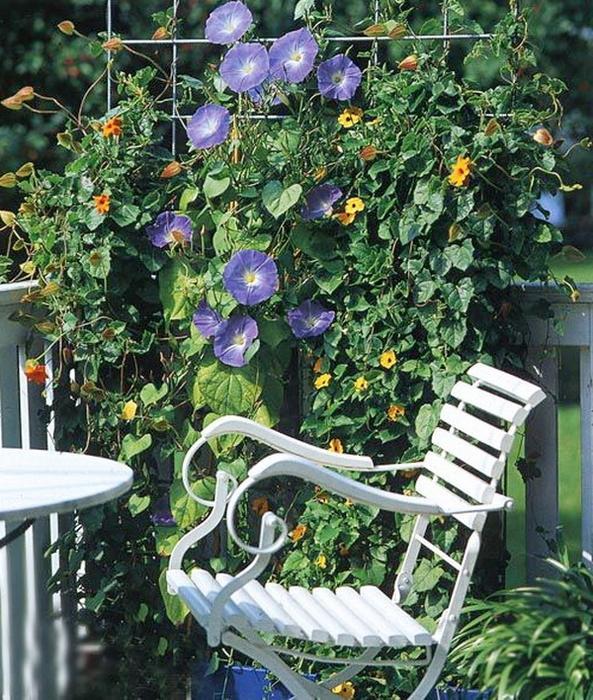 Ширма из вьющихся растений: сделай сам.