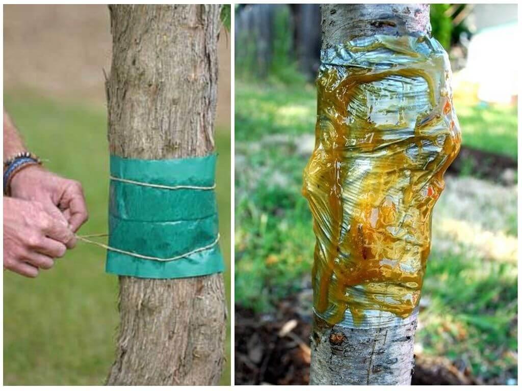 Ловчие пояса для яблонь своими руками фото 478