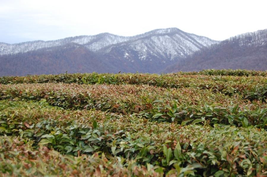 чай где выращивают в мире